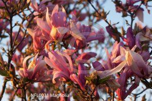 Magnolia; bloesem; bloeiende boom